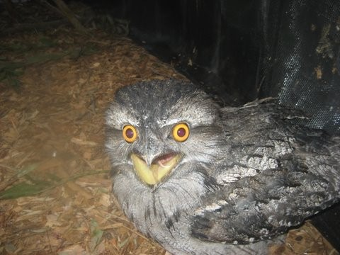Frogmouth Owl