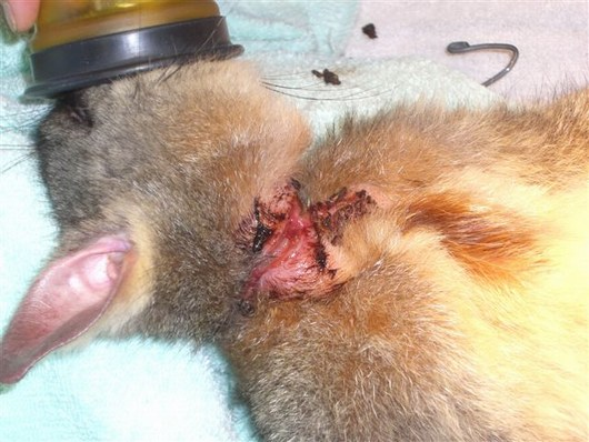 Injured Possum 03